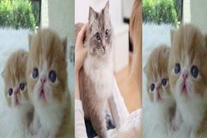 بهترین نژادهای گربه خانگی با تصویر